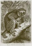 The Potto (Pterodicticus Potto)