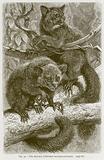 The Aye-Aye (Chiromys Madagascariensis)