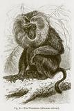 The Wanderoo (Macacus Silenus)