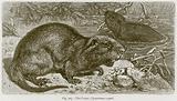 The Coypu (Myopotamus Coypu)