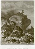 The Alpine Marmot (Arctomys Marmota)