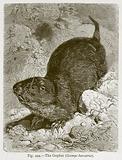 The Gopher (Geomys Bursaria)