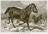 The Tarpan (Equus Tarpan)
