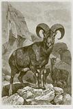 The Musimon or European Mouflon (Ovis Musimon)