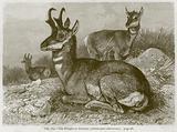 The Pronghorn Antelope (Antilocapra Americana)