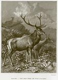 The Red Deer or Stag (Cervus Elaphus)