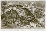 The Narwhal (Monodon Monoceros)