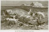 The Beluga or White Whale (Beluga Leucas)