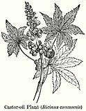 Caster-Oil Plant (Ricinus Communis)