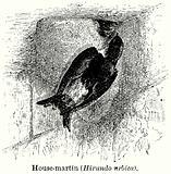 House-Martin (Hirundo Urbica)