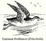 Common Guillemot (Uria Troile)