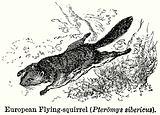 European Flying-Squirrel (Pteromys Sibericus)