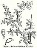 Myrrh (Balsamodendron Myrrha)
