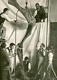 Mounting the bones of a dinosaur