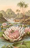 The great water lily, Victoria Regia