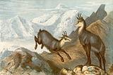"""The Chamois – """"The Chamois hunter's hunting ground"""""""