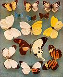 Some sex mosaic butterflies