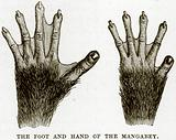 The Foot and Hand of the Mangabey