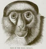 Face of the Diana Monkey