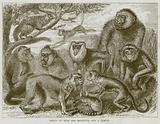 Group of Apes and Monkeys, and a Lemur