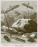 The Metamorphosis of the Caddis Flies, Limnophilus Flavicornis, L Lunatusm and L Rhombicus
