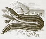 The Conger Eel