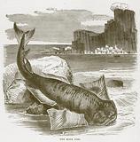 The Monk Fish