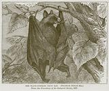 The Black-Cheeked Fruit Bat