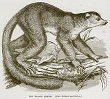 The Weasel Lemur