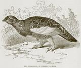 The Ptarmigan, in Summer Plumage