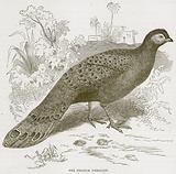 The Peacock Pheasant
