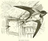 The Common Swallow