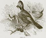 Common Jay