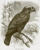 The Kaka Parrot