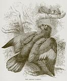 The Amazon Parrot
