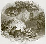 The Duck-Billed Platypus