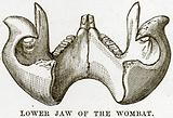 Lower Jaw of the Wombat