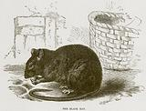 The Black Rat
