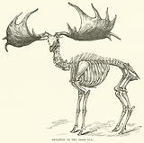 Skeleton of the Irish Elk