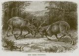 Red Deer Fighting