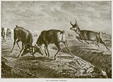 The Pronghorn Antelope