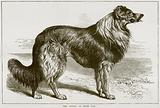 The Colley, or Sheep Dog