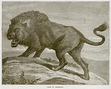 Lion of Barbary