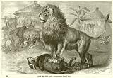 Lion of the Cape
