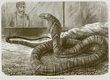 The Hamadryad Snake