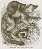 The Ruffed Lemur