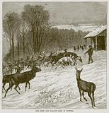 Red Deer and Fallow Deer in Winter