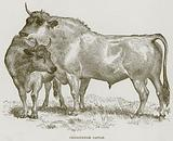 Chillingham Cattle
