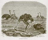 Ostrich Hunting