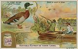 Wild duck; duck hunting in Europe